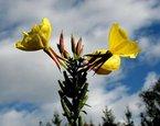 Gelbe Nachtkerze -mehrjährige Pflanze- 100+ Samen
